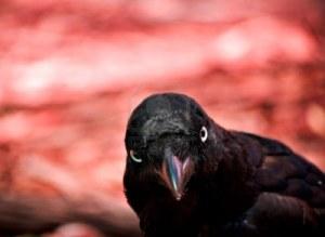 tough_crow